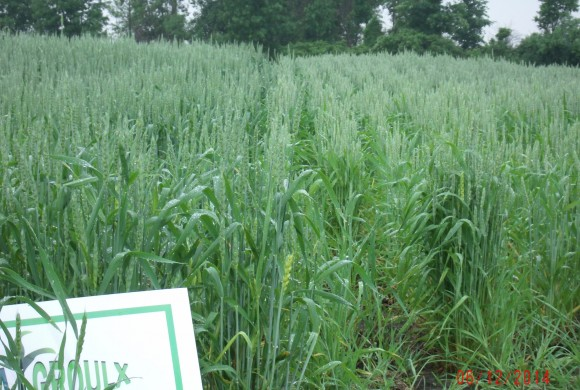 13% yield increase on winter wheat
