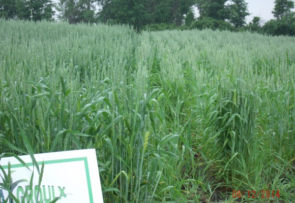 Wheat: Left side has SumaGroulx applied. Right side is without SumaGroulx.